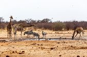 Giraffa Camelopardalis And Zebras Drinking On Waterhole