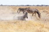 Zebra Rolling On Dusty White Sand