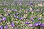 picture of saffron  - Saffron flowers in a field - JPG