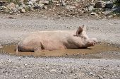 a sow in a puddle of Kelmend district, Albania
