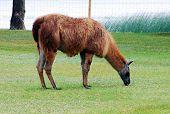 Llama In The Grutas Park Near Druskininkai Town