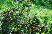 Red Gooseberries Hanging On A Bush