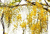 pic of vishu  - Golden Shower Tree National Tree of Thailand - JPG