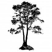 Black Alder full size tree isolated silhouette, vector