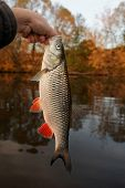 Nice chub caught at sunset, autumn scene