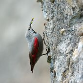 The Wallcreeper (Tichodroma muraria) in natural habitat