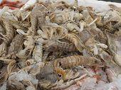 Mantis Shrimp For Sale