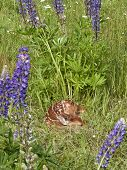 Fawn Sleeping Framed by Lupine