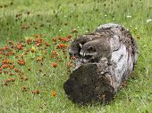 Raccoon on log in orange wildflowers