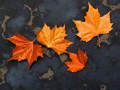 Plane tree autumn leaves