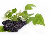 Studio Shot Of Three Fresh Blackberries With Leaves In Background