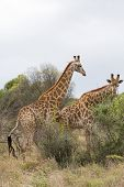 two african giraffe in the bush