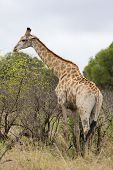 african giraffe feeding on trees