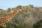 african giraffe closeup in bush
