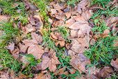 stock photo of fallen  - New fresh green grass growing at the beginning of the spring between the brown tree leaves that have fallen in the autumn season - JPG