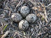 foto of killdeer  - Nest of killdeer eggs on the ground - JPG