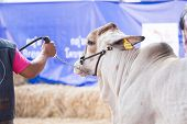 stock photo of cattle breeding  - Beef cattle is show body for judging contest - JPG