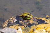 stock photo of edible  - green edible frog also known as the Common Water Frog sits on wate - JPG
