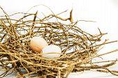 image of bird egg  - Bird eggs and net Nest Zebra dove  - JPG
