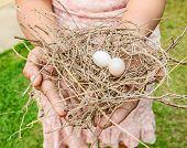 picture of bird egg  - Bird eggs and net Nest Zebra dove  - JPG