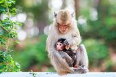 picture of macaque  - Monkey family (Crab-eating macaque) in the park of Thailand