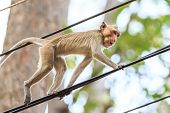 foto of macaque  - Monkey  - JPG