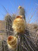 Chilean Cactus