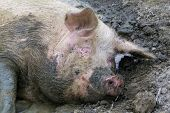 image of wallow  - A Happy sleeping pig - JPG