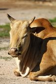 picture of dwarf  - photo of the dwarf zebu  - JPG