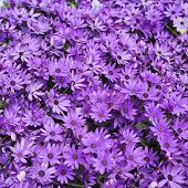 pic of violet flower  - Violet camomile flower dimorphotheca composition close - JPG