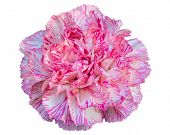 stock photo of carnation  - Beautiful pink carnation flower isolated on white background - JPG