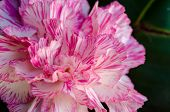 stock photo of carnation  - Close up beautiful white and pink striped carnation flower - JPG
