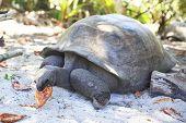 foto of tortoise  - Aldabra giant tortoise eats leaves - JPG