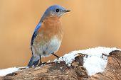 foto of bluebird  - Male Eastern Bluebird  - JPG