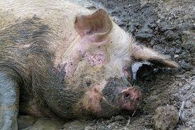 pic of wallow  - A Happy sleeping pig - JPG