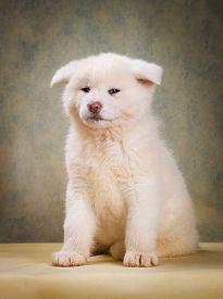 image of akita-inu  - Japanese Akita Inu Dog studio portrait  - JPG