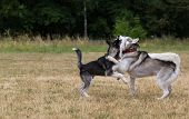 pic of dry grass  - Puppy of Siberian Husky plays with adult Husky - JPG
