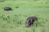 picture of saharan  - Two hippopotimi stand and graze in a lush green field during a cloudy day in Moremi Game Reserve inside the Okavango Delta Botswana.