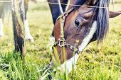 picture of horses eating  - Closeup of horse eating grass at green field - JPG