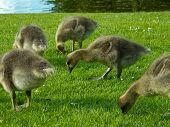 Chicks of greylag goose