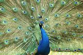 Indian Peacock Or Peafowl, Costa Rica, Central America
