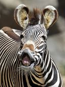 Common Or Burchells Zebra Smiling , Male Adult, Kenya , Africa