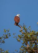 Brahminy Kite (Haliastur indus), also known as the Red-backed Sea-eagle on the top of tree photo poster