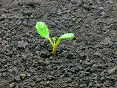stock photo of seed bearing  - Young sprout on the ground - JPG