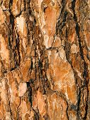 Pine bark background.