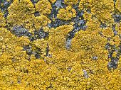 lichen background.