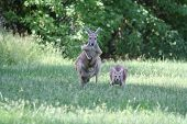 Red Kangaroo - Mother With Child