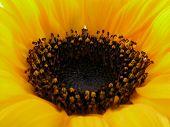 centre of sunny sunflower
