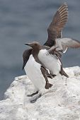 Guillemots Making Out