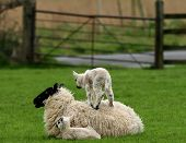 image of farm animals  - a baby lamb standing on its mothers back - JPG